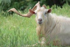 与一块垫铁的一只山羊 免版税库存照片