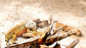 与一块大喉部的垂肉的鬣鳞蜥 免版税库存图片