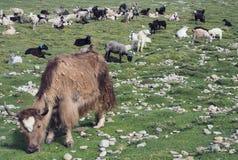 与一块大长的棕色羊毛和锋利的垫铁的一头大棕色西藏牦牛在一个绿色草甸吃草,在绵羊后,喜马拉雅山 库存照片