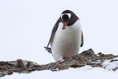 与一块石头的Gentoo企鹅在它的额嘴 免版税库存照片