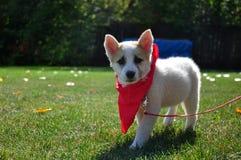与一块红色班丹纳花绸的小狗 免版税库存图片