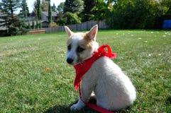 与一块红色班丹纳花绸的小狗 库存照片