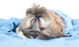 与一块蓝色毛巾的滑稽的小狗 库存图片