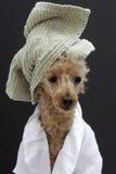 与一块绿色毛巾的长卷毛狗 库存图片