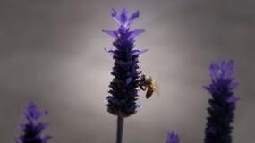 与一大蜂垂悬的紫色淡紫色花它 库存照片
