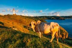 与一头母牛的金黄日落在巴丹群岛省绵延山  库存图片