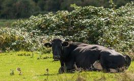 与一头黑白母牛的目光接触 免版税图库摄影
