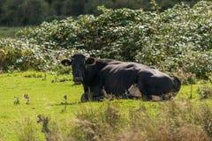 与一头黑白母牛的目光接触 库存照片