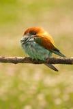 与一好全身羽毛睡觉的小鸟 库存图片