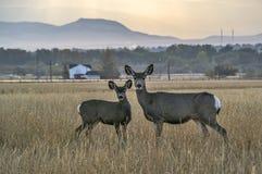 与一岁的长耳鹿母鹿 免版税库存照片
