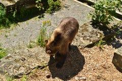 与一张发光的毛皮的一头棕熊 免版税库存图片