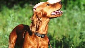 与一张开放嘴的一条英俊的中等高度红色狗在一个美丽的绿色森林里站立在夏天 狗非常突出  股票录像