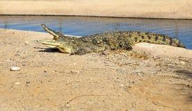 与一张开放嘴的大美洲鳄 免版税库存图片
