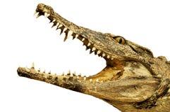 与一张开放嘴的鳄鱼 免版税图库摄影