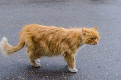 与一张红色毛皮的一只猫走沿街道的 免版税库存图片