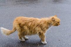 与一张红色毛皮的一只猫走沿街道的 库存照片