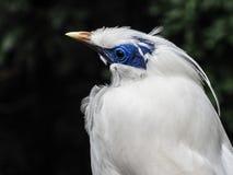 与一张蓝色面孔的巴厘岛八哥鸟 库存图片
