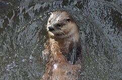 与一张逗人喜爱的面孔的河中水獭在河 免版税库存照片