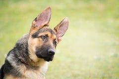与一恶作剧和殷勤看起来的听他的大师的一只德国牧羊犬小狗的画象 库存照片