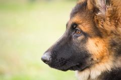 与一恶作剧和殷勤看起来的听他的大师的一只德国牧羊犬小狗的画象 免版税库存照片