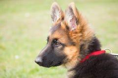 与一恶作剧和殷勤看起来的听他的大师的一只德国牧羊犬小狗的画象 库存图片