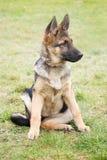 与一恶作剧和殷勤看起来的听他的大师的一只德国牧羊犬小狗的画象 免版税库存图片