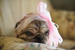 与一把桃红色弓的哈巴狗狗在她的头 免版税库存图片