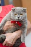 与一把红色弓的一只大灰色猫 库存图片