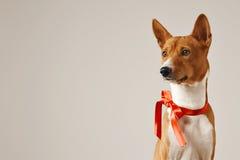 与一把红色弓的小狗 免版税库存照片