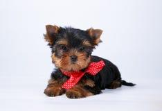 与一把红色弓的约克夏狗小狗 图库摄影