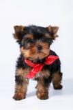 与一把红色弓的约克夏狗小狗 免版税库存照片