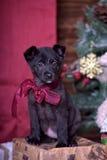 与一把红色弓的黑小狗 图库摄影