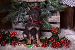 与一把红色弓的黑小狗 库存图片
