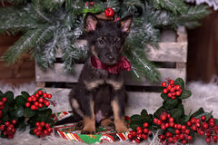 与一把红色弓的黑小狗 库存照片