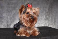 与一把红色弓的年轻狗品种约克夏狗 图库摄影