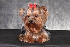 与一把红色弓的年轻狗品种约克夏狗 免版税库存照片