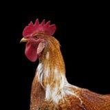 与一把红色梳子的一只红色雄鸡 库存照片