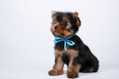 与一把蓝色弓的约克夏狗小狗 免版税库存图片