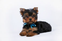 与一把蓝色弓的约克夏狗小狗 库存图片