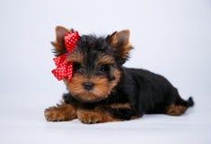 与一把蓝色弓的约克夏狗小狗 免版税库存照片