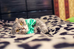 与一把绿色弓的家猫 免版税图库摄影