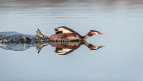 与一有顶饰格里布的反射性游泳 免版税库存图片