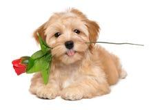 与一朵人为红色玫瑰的愉快的havanese小狗 库存图片
