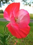 与一朵庭院鸦片花的装饰背景纹理的宏观照片与桃红色色彩的瓣的 库存照片