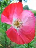 与一朵庭院鸦片花的装饰背景纹理的宏观照片与桃红色色彩的瓣的 免版税库存图片