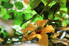 与一朵柔和的黄色花的木槿绽放 免版税图库摄影