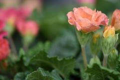 与一朵桃子珊瑚颜色报春花的春天花在与一个五颜六色的自然庭院的绽放弄脏背景 库存图片