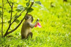 与一朵桃红色花的一只小的猴子 免版税库存照片