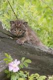 与一朵桃红色花的美洲野猫小猫 免版税图库摄影