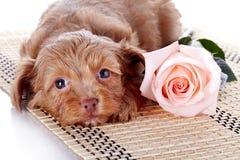 与一朵玫瑰的小狗在地毯。 库存图片